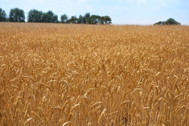 cornfield72